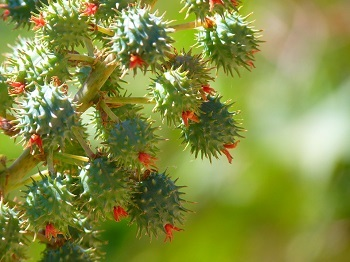 castor oil plant for glowing face